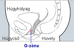 a pénisz erogén zónáinak szerkezete)